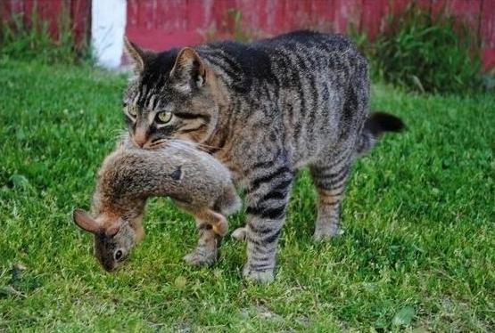 Почему истребляют диких кошек