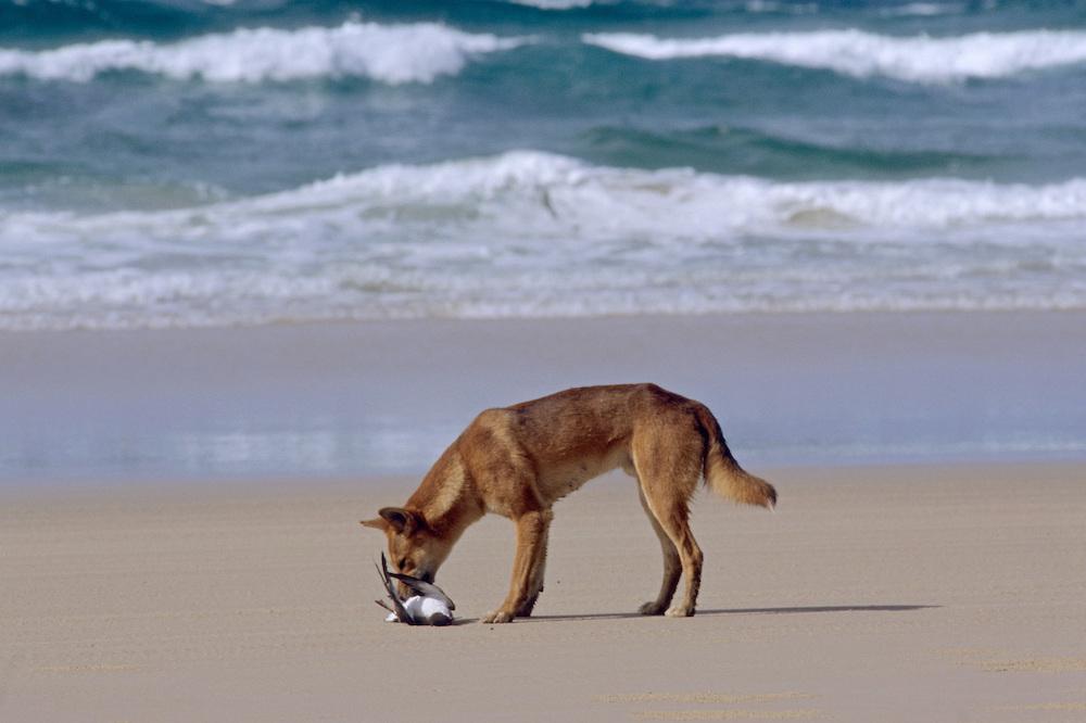 Охота динго на кенгуру