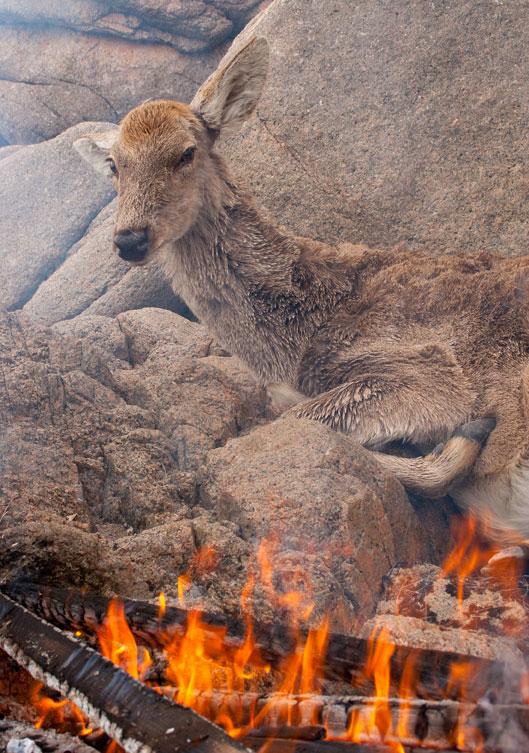 истребление оленей бродячими собаками в россии все данные
