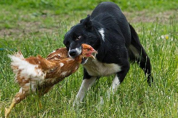 собака загрызла кур