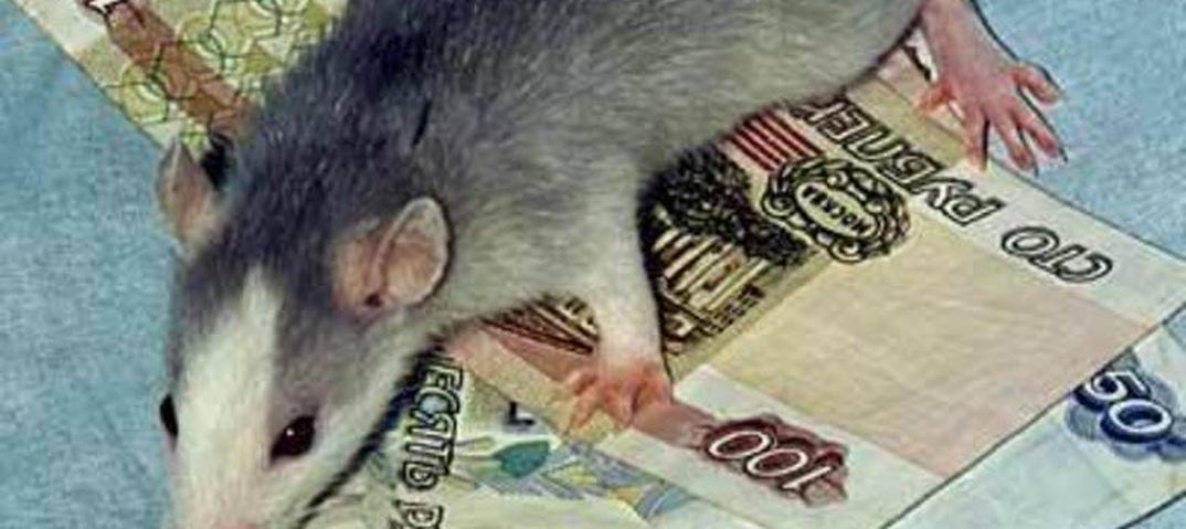 Шапочно Знакомая Крыса